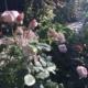 Roser i haven