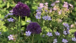 Allium og geranium